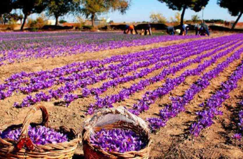 उत्तराखंड में होगी कश्मीरी केसर की खेती