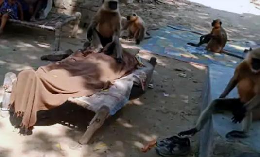 शव के अंतिम दर्शन को पहुंची बंदर सेना, करने लगे मातम