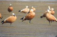 पक्षी प्रेमियों को लुभा रहे सुनहरे पंखों वाले विदेशी सुर्खाब