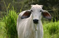 प्रतिबंधित गोमांस बरामद, तस्कर फरार