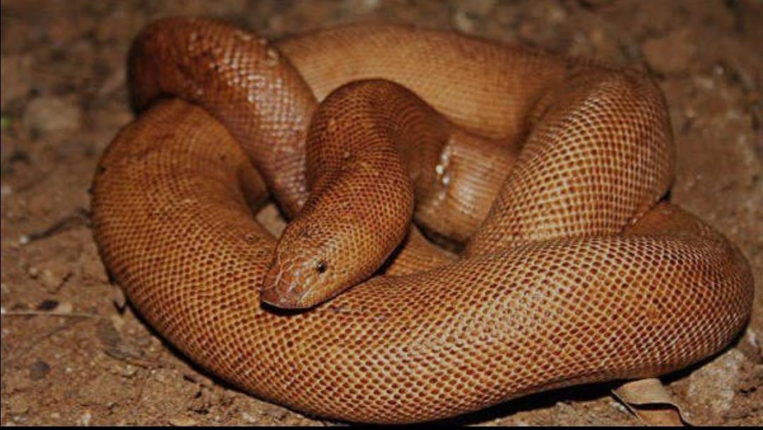 ढाई करोड़ की अंतराष्ट्रीय कीमत के दुर्लभ प्रजाति सांप की तस्करी में चार को पकड़ा