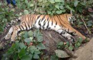 खीरी जिले के मैलानी रेंज में मिला बाघ का शव, मचा हड़कंप
